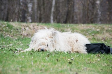 Hundeschule Greiz Hohenleuben  Schäferhund Altdeutscher Schäferhund Fichtlmeier Fichtlmeier Gera Zeulenroda